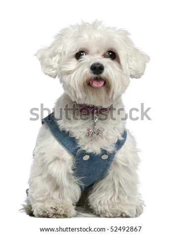 Maltese dog, 3 years old, sitting in front of white background