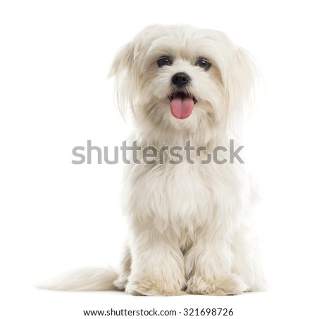 Maltese in front of a white background  - stock photo