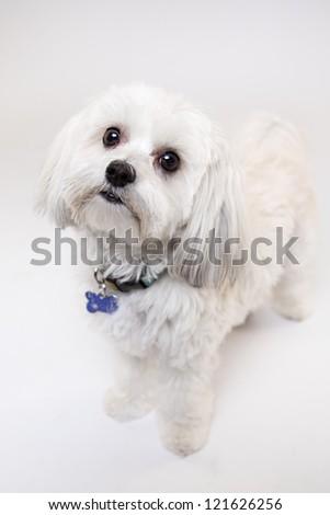 Maltese Isolated on white - stock photo