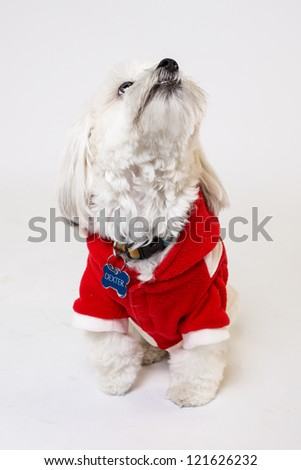 Maltese Isolated on white with a Christmas jacket sweater - stock photo