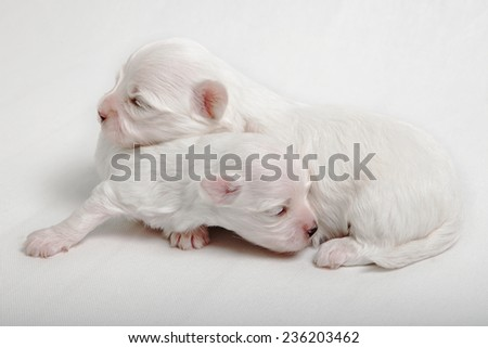 Maltese lap dog two puppies at the age of two weeks