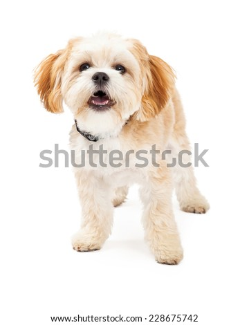 Maltese Mix Breed Dog standing with open mouth while looking forward.