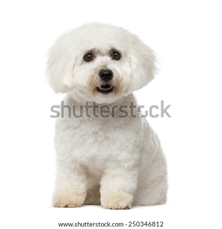 Maltese (11 months old) - stock photo