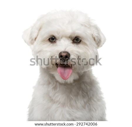 Maltese (16 months old) in front of a white background - stock photo