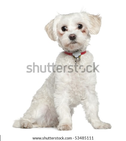 Maltese, 8 months old, sitting in front of white background - stock photo