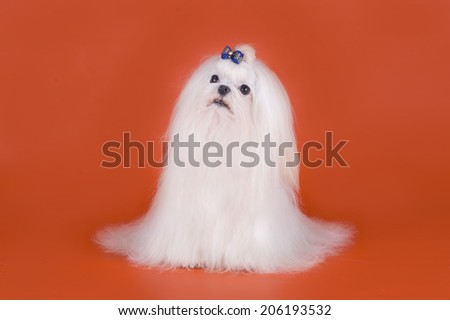 Maltese on a red background - stock photo