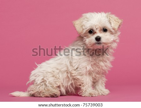 Maltese puppy, 3 months old, sitting in front of pink background