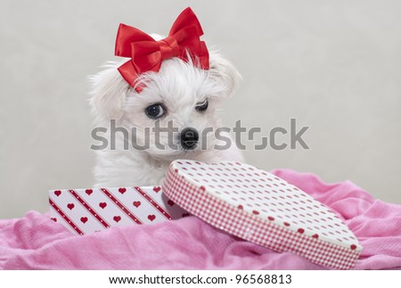 Maltese puppy, 2 months old, sitting in the box - stock photo