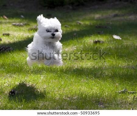 maltese puppy running - stock photo