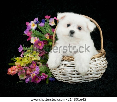 Maltese puppy sitting in a white basket with spring flowers around her on a black background. - stock photo