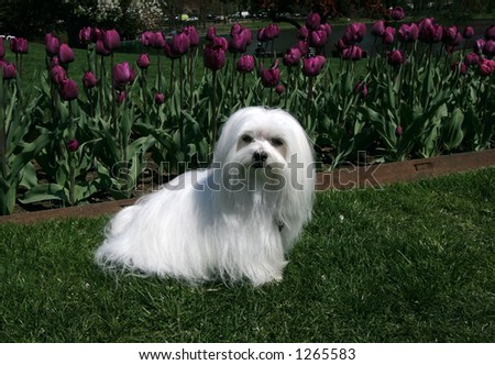 maltese sitting on grass with purple tulips in background