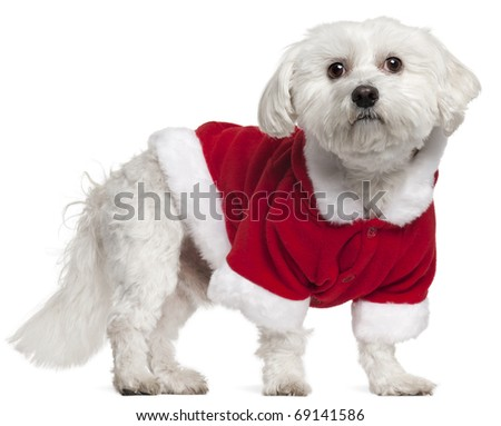 Maltese wearing Santa outfit, 5 years old, standing in front of white background - stock photo