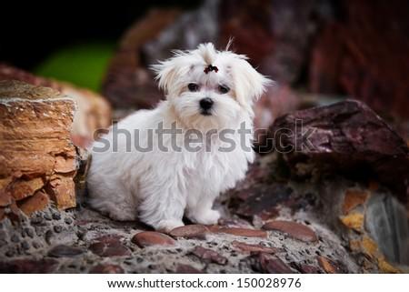 Maltese white in colors - stock photo