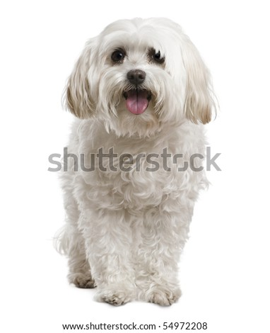 Maltese, 2 years old, in front of white background
