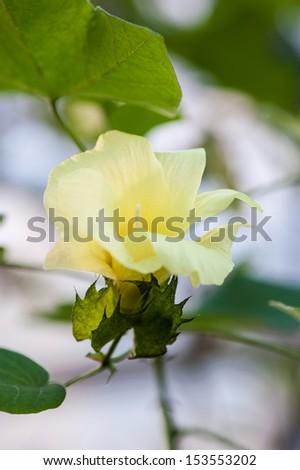 Malvaceae Gossypium Tomentosum - stock photo
