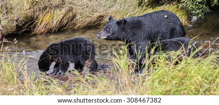 Mama and cub black bears in the grass and river - stock photo