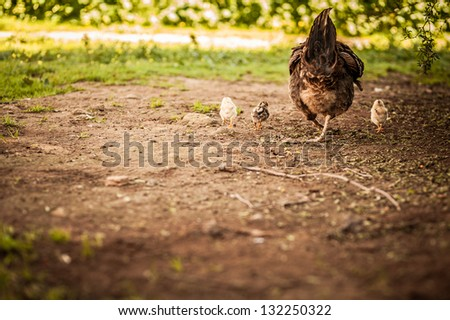 Mama chicken and her chicks from the back - stock photo