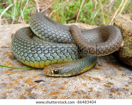 Mamba look-alike, the large and colorful Eastern Yellow-bellied Racer snake, Coluber constrictor flaviventris, coiled defensively with a large meal in its belly - stock photo