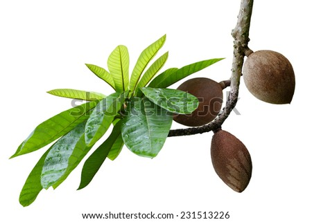 Mamey Sapote Couzmel fruit on branch isolated on white background - stock photo