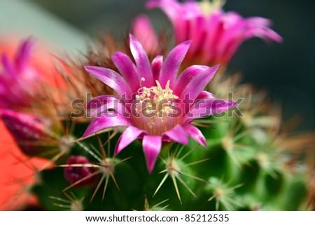 Mammillaria - stock photo