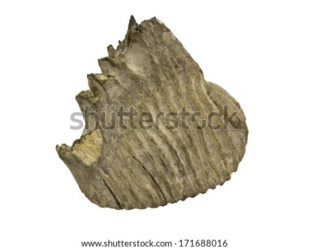 mammoth elephant tooth fossil isolated over a white background with a clipping path at original size - stock photo