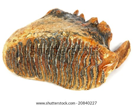 Mammuthus primigenius (upper tooth from a Woolly Mammoth)  40,000 years old  Collected from the North Sea, near the Netherlands - stock photo