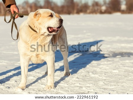 Man and central Asian shepherd walk in the park - stock photo