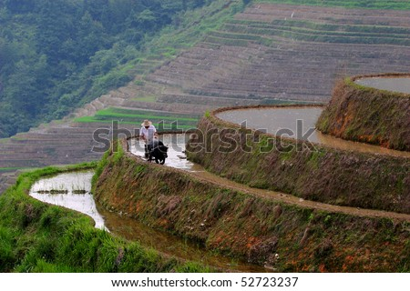 Man and water buffalo working on rice terrace - stock photo