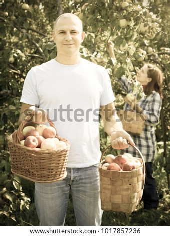 Man and woman picks apples in the orchard