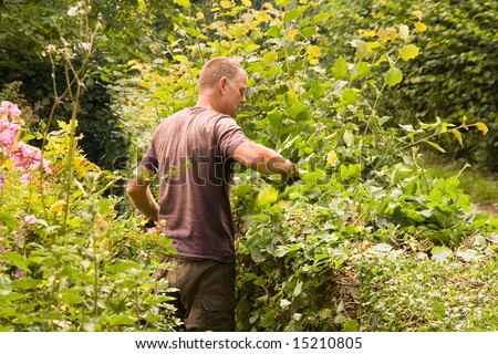 Man cutting the summer growth of a mixed hedge in summer, the cutter is buried in the greenery which can be seen moving
