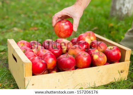 Man hand put red apple in box in garden