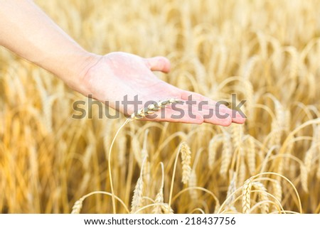 man hand touching wheat ears on the field