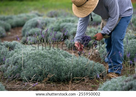 Man harvesting lavender on Maui hill in Hawaii - stock photo