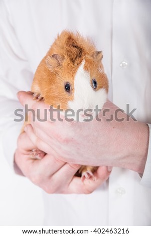 Man holding a guinea pig in the hands - stock photo