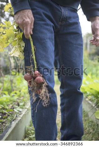 Man holding bunch of red potatoes still on the stem that he just pulled out of the ground. You can grown your own at home too! Just plant potato eyes in some loose dirt and leaves and voila! - stock photo