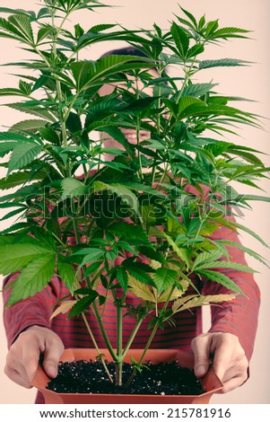 Man holding green Cannabis plant in flowerpot.