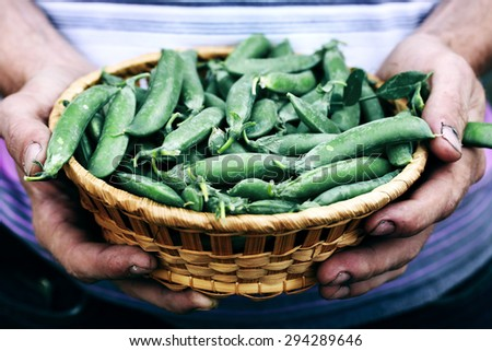 man holding Green peas in a basket  - stock photo
