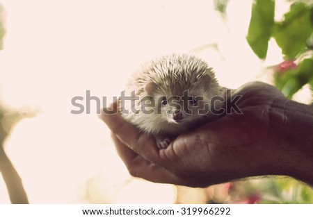Man holds in his hand a small baby african pygmy hedgehog in sunset nature - stock photo