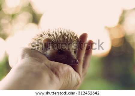 Man holds in his hand a small babyafrican pygmy hedgehog in sunset nature - stock photo