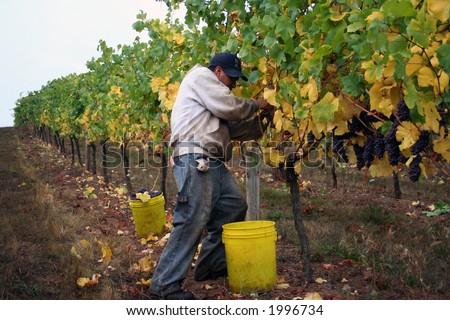 Man in vine row harvesting pinot noir grapes - stock photo