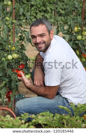 Man picking tomatoes in garden - stock photo