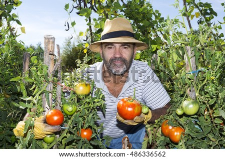 man picking tomatoes of  traditional farming