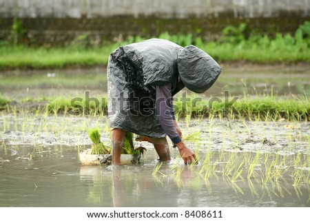 Man planting rice in the Paddy field. - stock photo