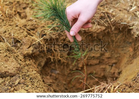 Man Planting Small Christmas Tree In Silty Soil Ground With Bare Hands