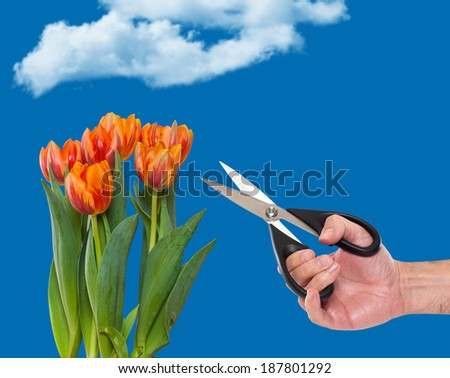 Man pruning tulips in a garden - stock photo