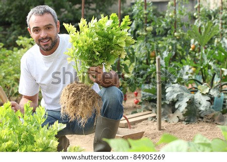 Man pulling celery out of the ground - stock photo