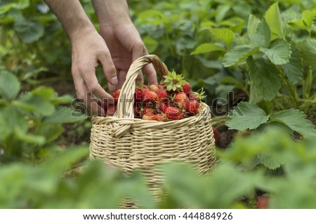 Man putting strawberries into the basket on the field - stock photo