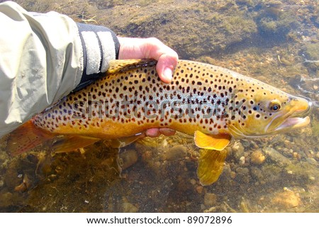 Man releasing a fish - Brown Trout caught fly fishing - stock photo