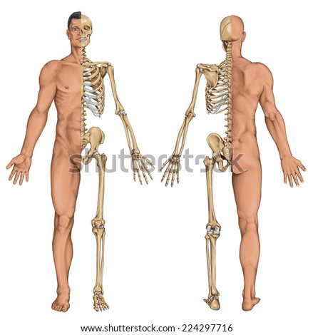 man's anatomical body, human skeleton, anatomy of human bony system, surface anatomy, body shapes, anterior posterior view, full body