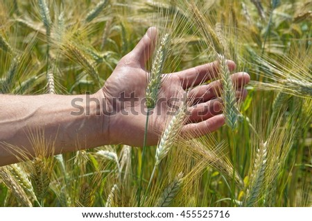 Man's hand and spikelets of rye